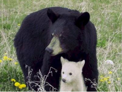 oso_albino