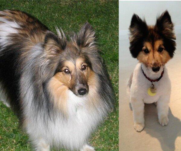perros corte de pelo 2
