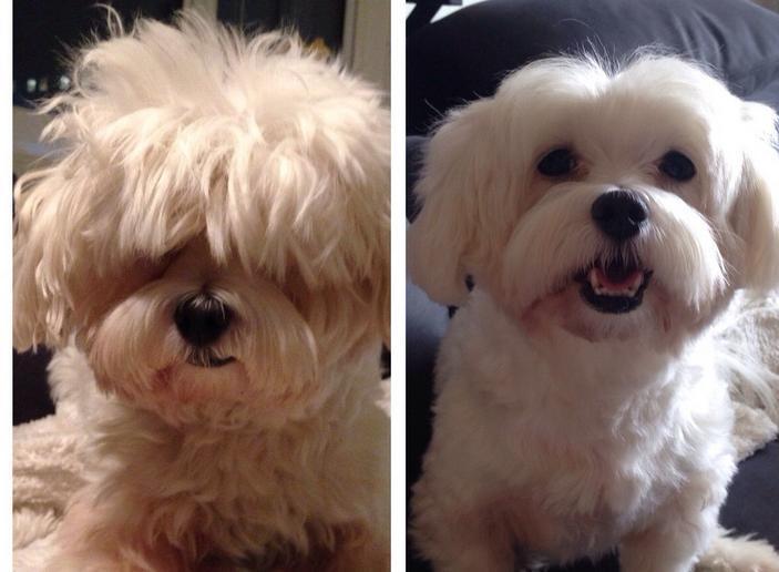 perros corte de pelo 4