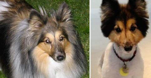 perros-corte-pelo