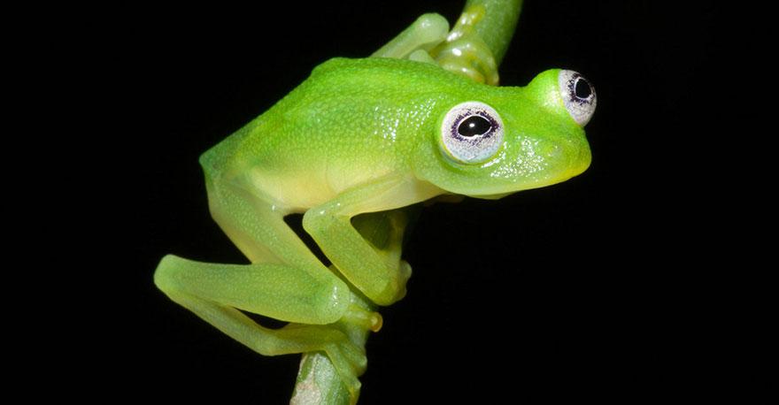 Aquí la amiga Hyalinobatrachium dianae