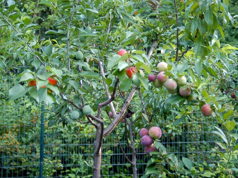 arbol_de_frutas_2