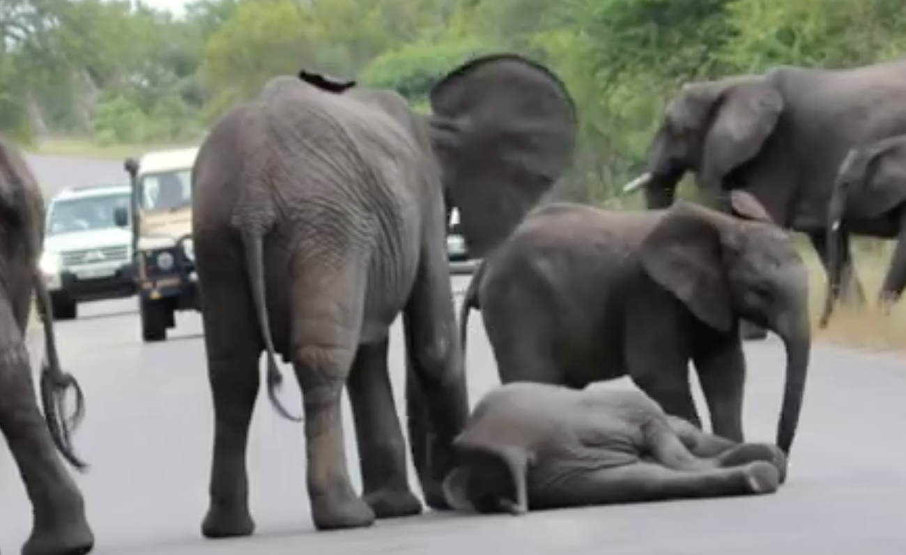 elefantes-ayudan