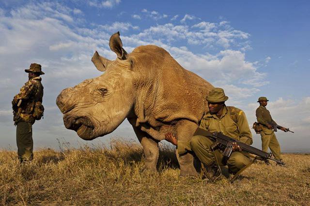 rinoceronte_blanco_norte_2