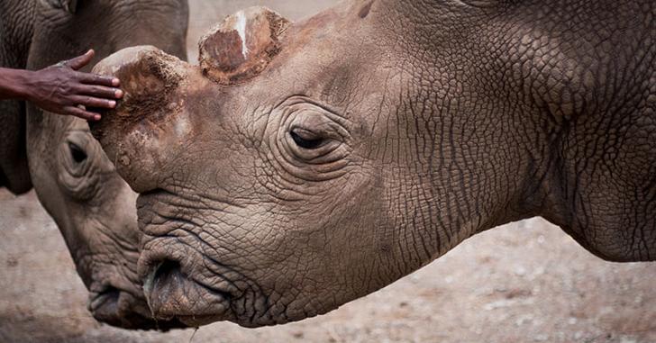 rinoceronte_blanco_norte_4