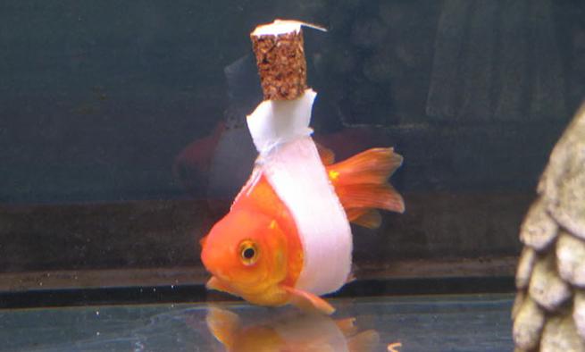 silla-rueda-flotacion-peces