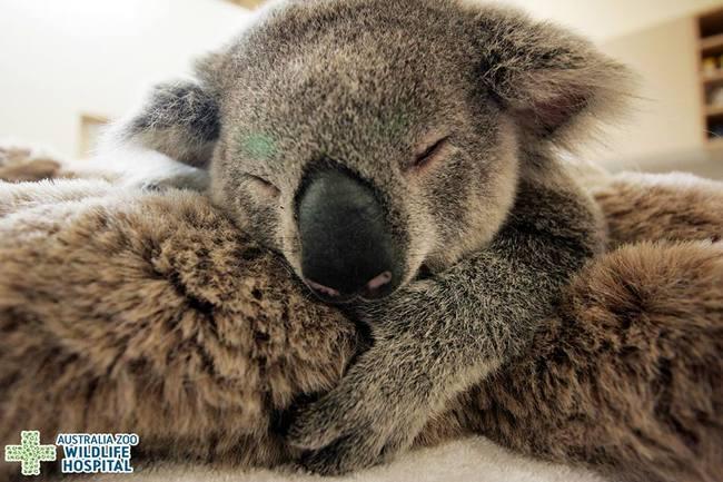 Koala_4