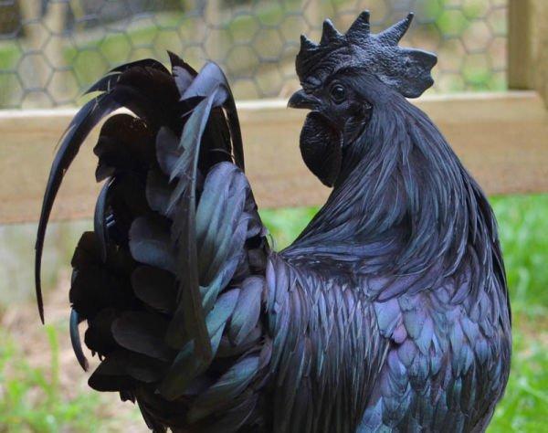 animales con melanismo11