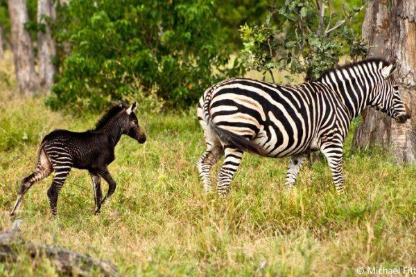 animales con melanismo12