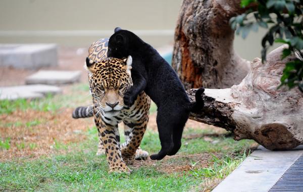 animales con melanismo3