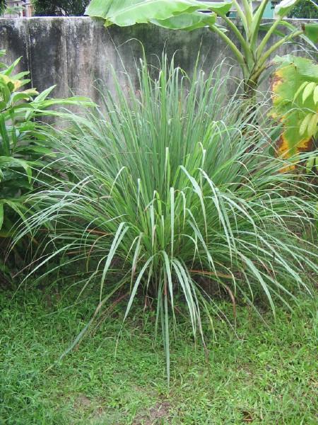 citronella-grass