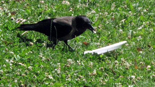 cuervo concienciado 1