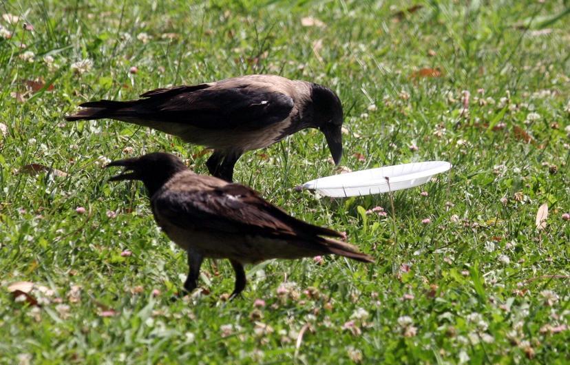 cuervo concienciado 2