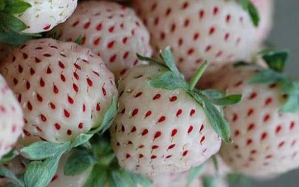 fresas-blancas