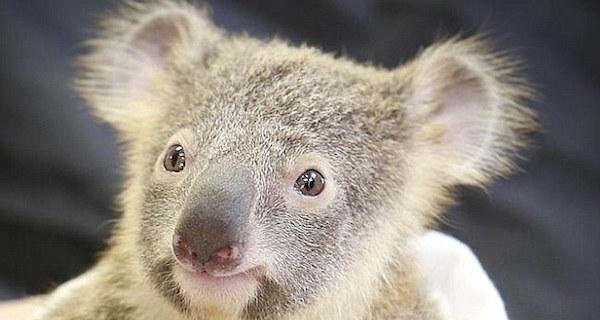 koala_5