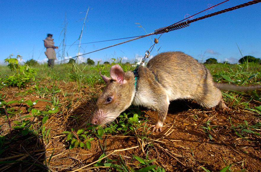 ratas y minas 1