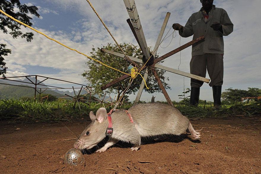 ratas y minas 11