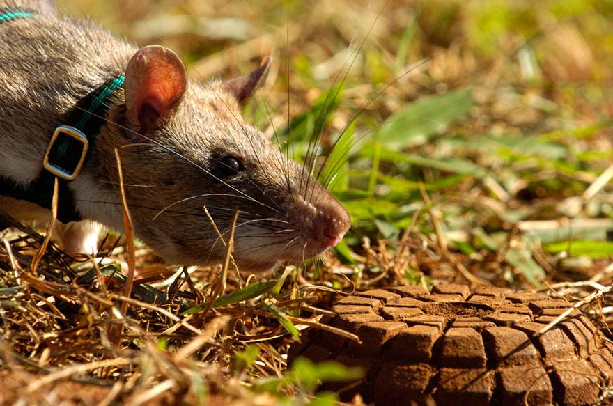ratas y minas 2