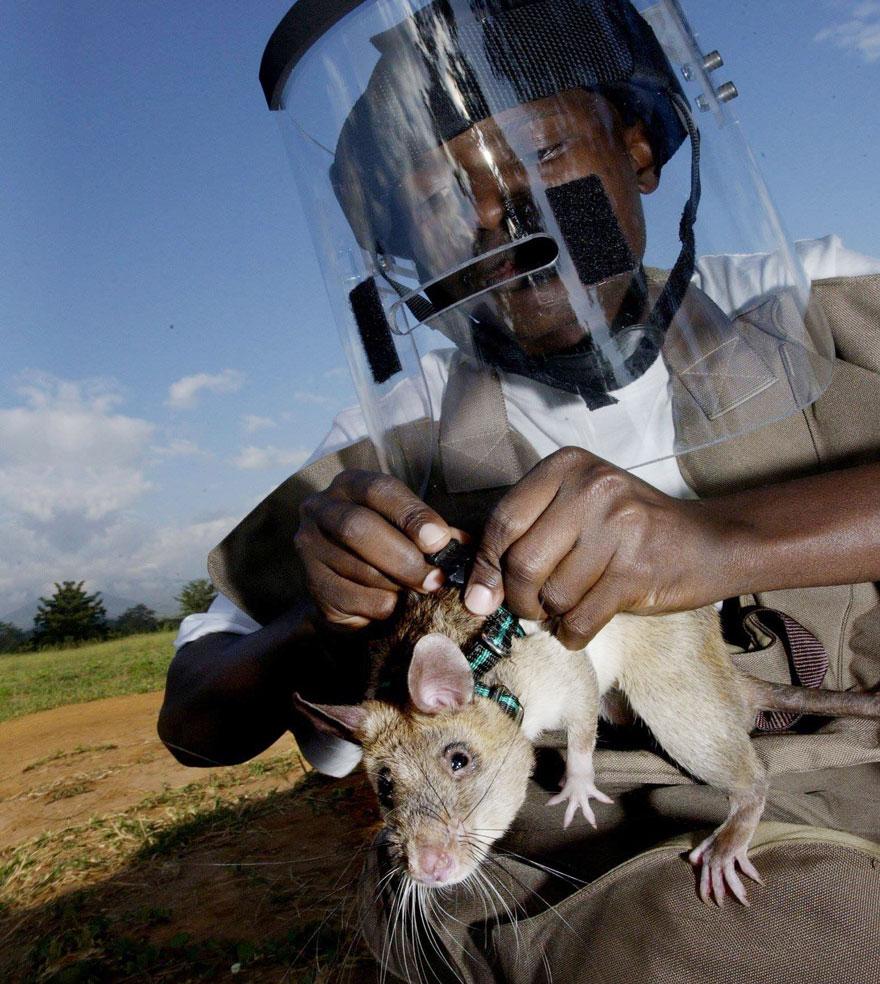 ratas y minas 3