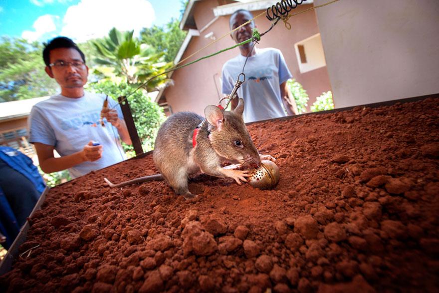 ratas y minas 4