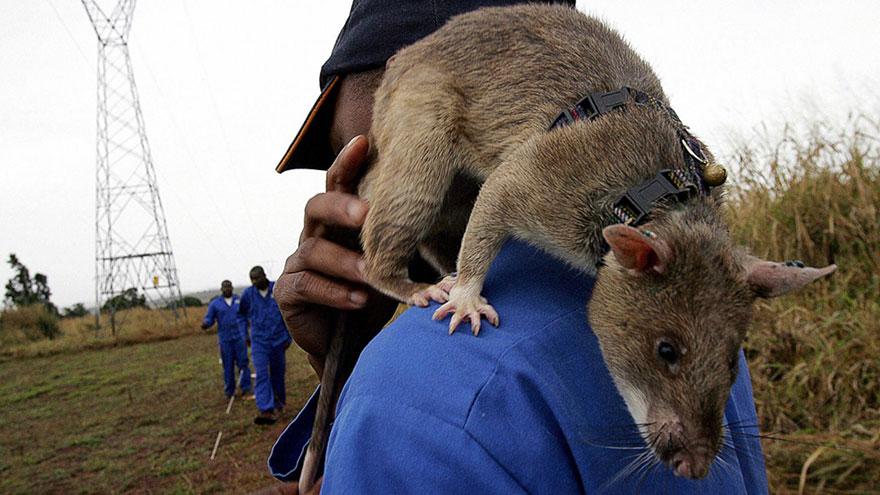 ratas y minas 5