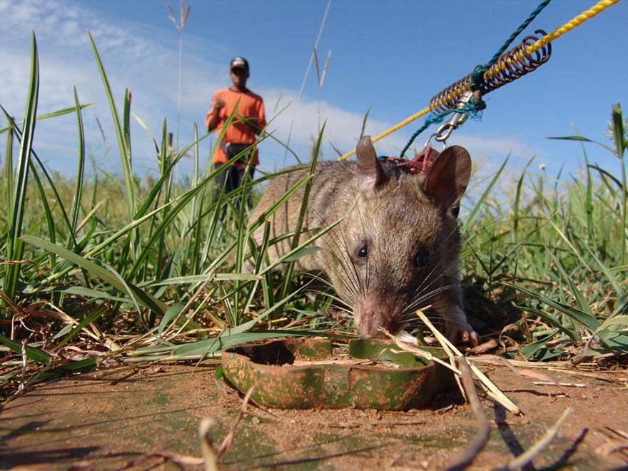 ratas y minas 6