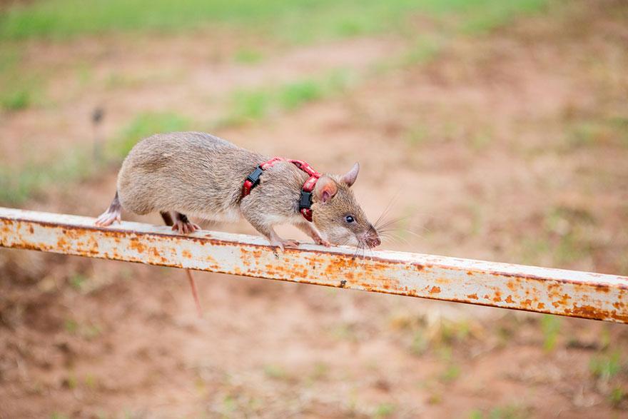 ratas y minas 9