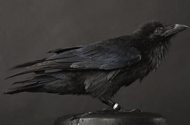 cuervos_1