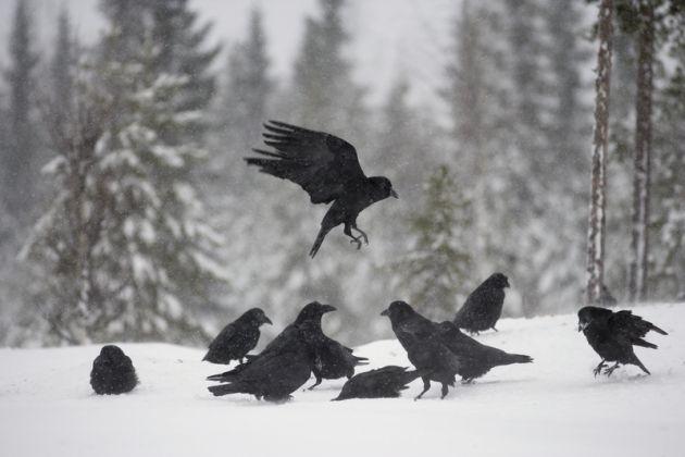 varios cuervos