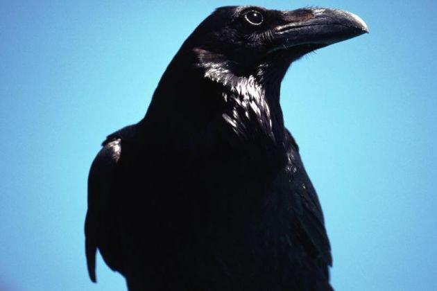cuervos obervando