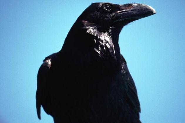 cuervos_3