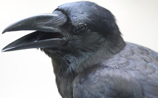 cuervos pico y gestos