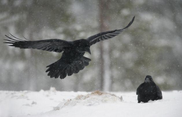 cuervo planeando