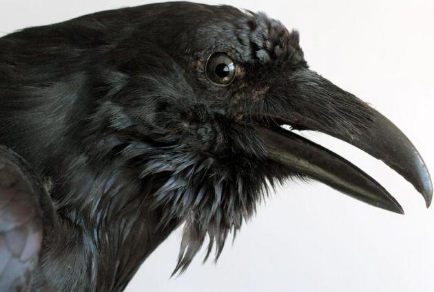 cuervos cabeza