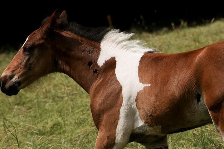 davinci-potro-caballo-mancha