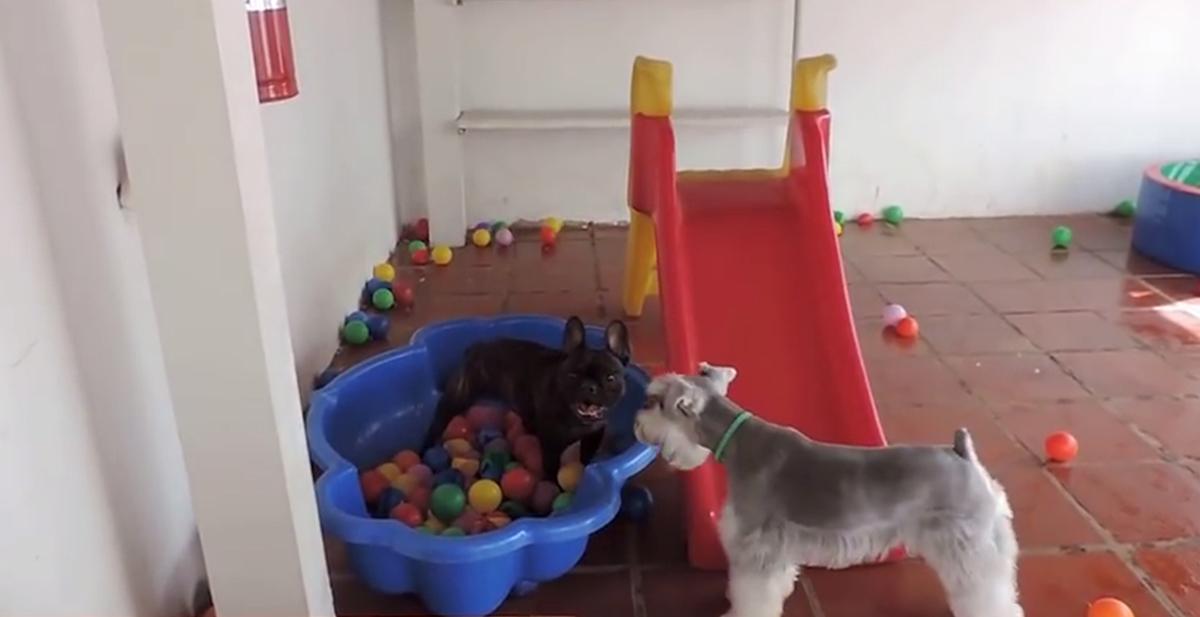 destacada perro piscina bolas