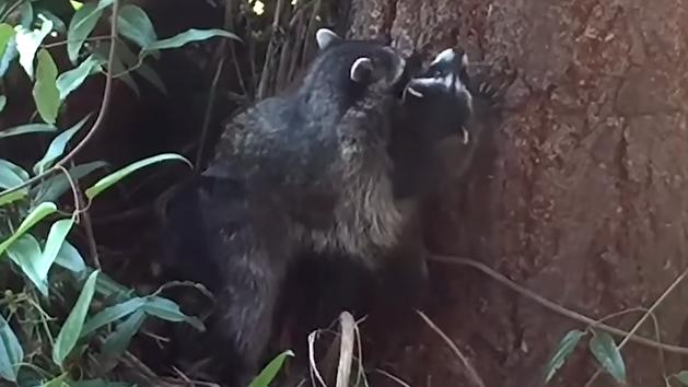 ensena-mapache