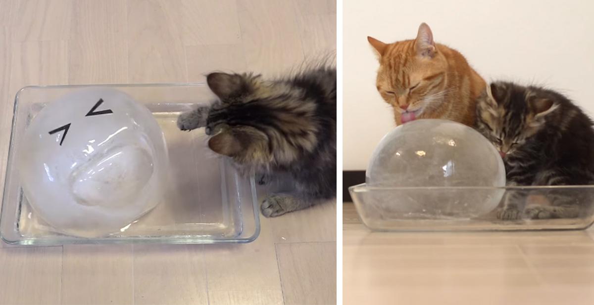 gatos bola de hielo