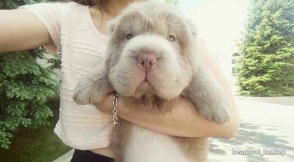 perrito que parece oso 1