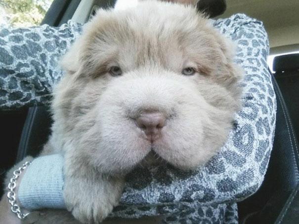 perrito que parece oso 2