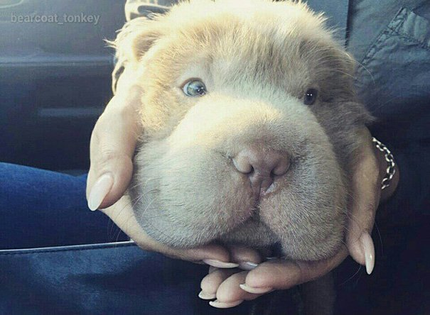 perrito que parece oso 4