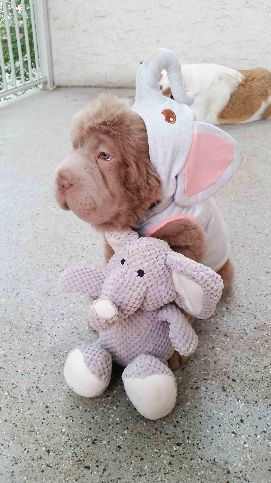 perrito que parece oso 5