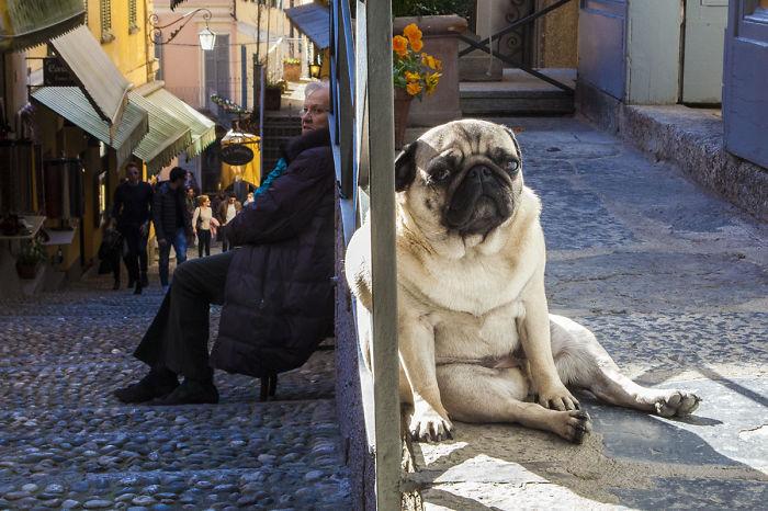 perros que parecen gigantes 11