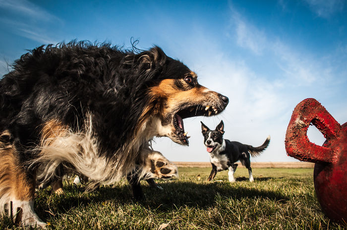 perros que parecen gigantes 13