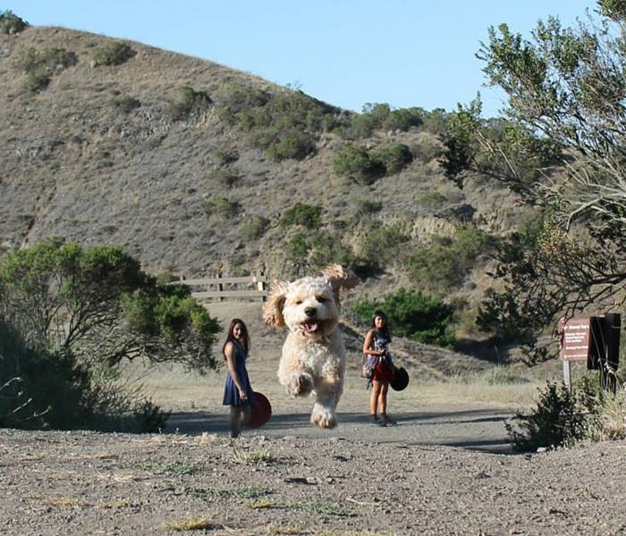 perros que parecen gigantes 16