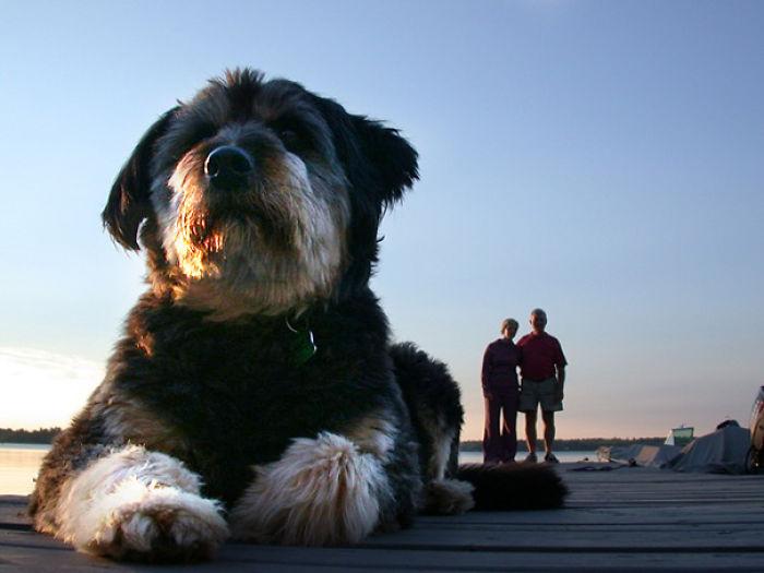 perros que parecen gigantes 9