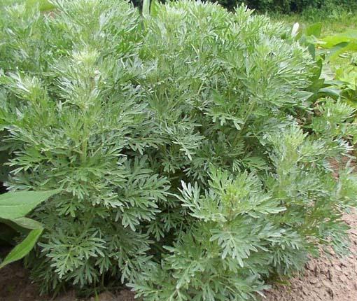plantas_medicinales_23
