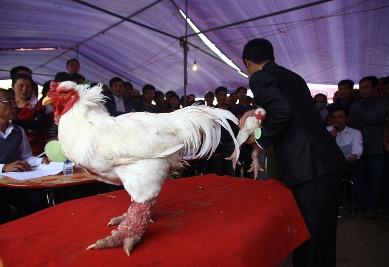 pollo dong tao dragon10