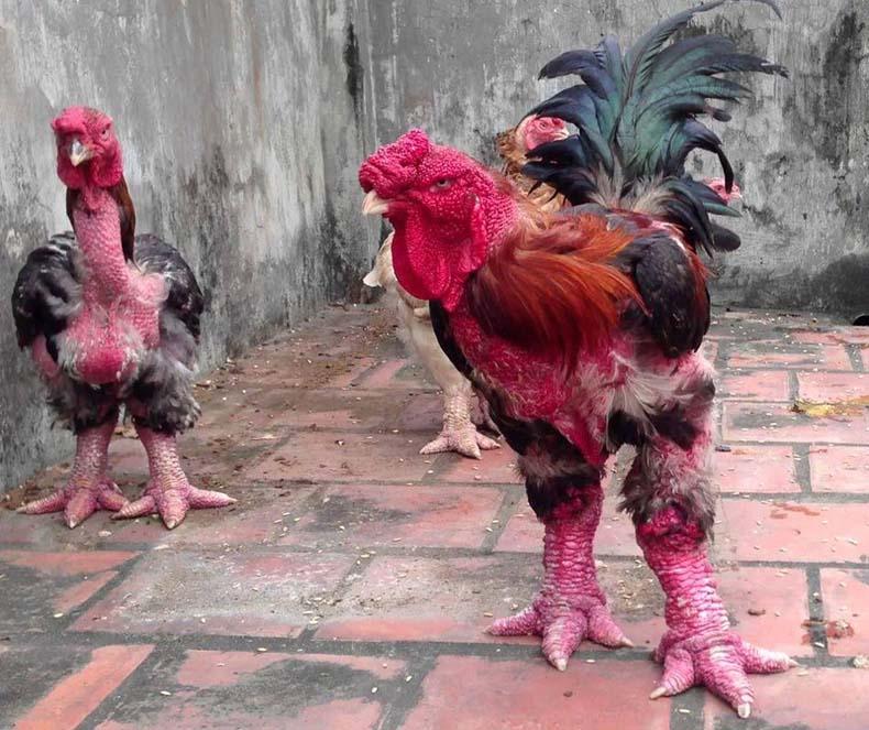 pollo dong tao dragon3