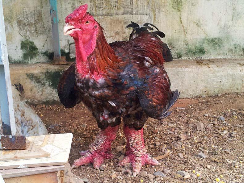 pollo dong tao dragon4